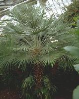Трахикарпус Форчуна или японская веерная пальма.