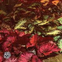Период декоративности: круглый год Размер: 10-25 см Цветы: невзрачные, мелкие, белые или бледно-розовые Листья...